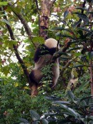 Giant Panda Research Centre (22)