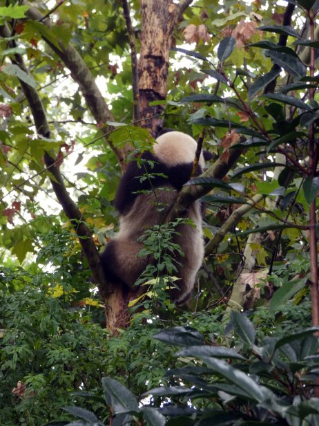 Giant Panda Research Centre (22)