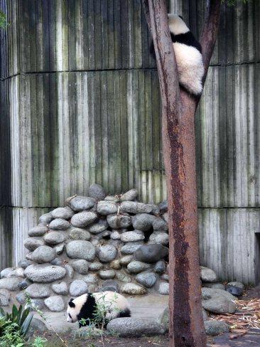 Giant Panda Research Centre (23)