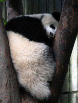 Giant Panda Research Centre (24)