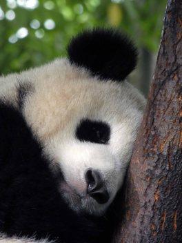 Giant Panda Research Centre (25)