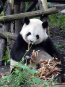 Giant Panda Research Centre (27)