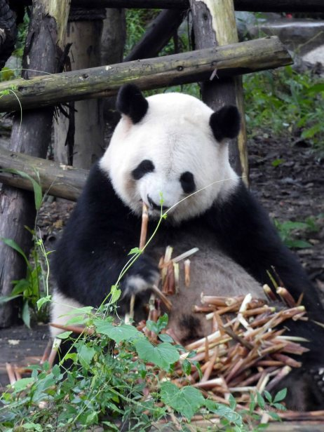 Giant Panda Research Centre (27)