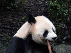 Giant Panda Research Centre (28)