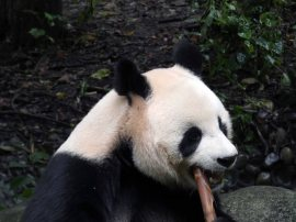 Giant Panda Research Centre (28)