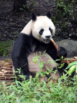 Giant Panda Research Centre (29)