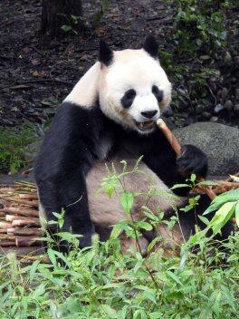 Giant Panda Research Centre (29)