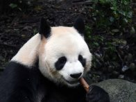 Giant Panda Research Centre (30)