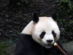 Giant Panda Research Centre (31)