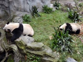 Giant Panda Research Centre (34)