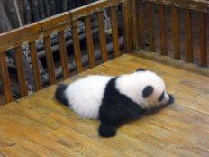 Giant Panda Research Centre (36)