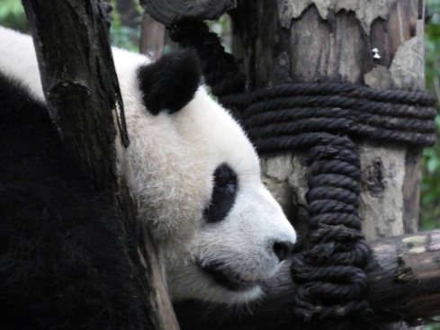 Giant Panda Research Centre (38)