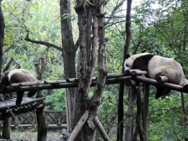 Giant Panda Research Centre (39)