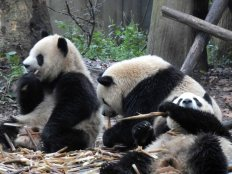 Giant Panda Research Centre (4)