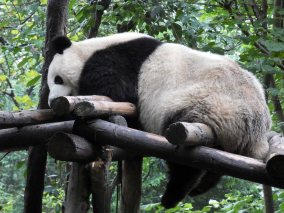 Giant Panda Research Centre (40)