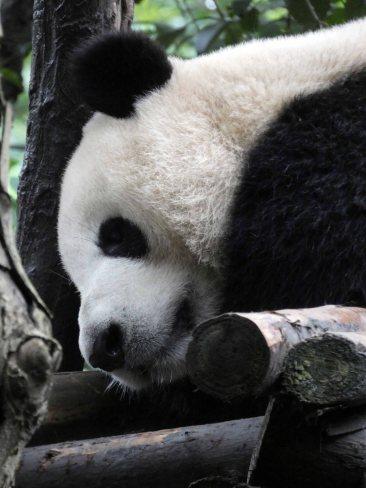 Giant Panda Research Centre (42)