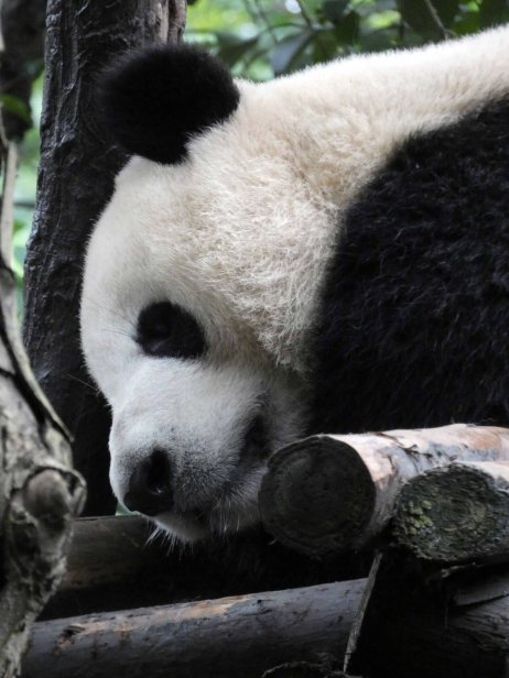 Giant Panda Research Centre (42)