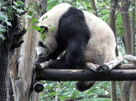 Giant Panda Research Centre (45)