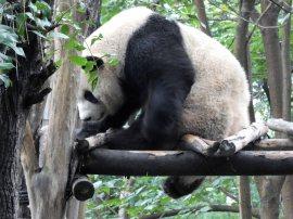 Giant Panda Research Centre (45)