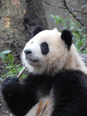 Giant Panda Research Centre (5)
