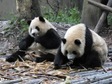 Giant Panda Research Centre (6)