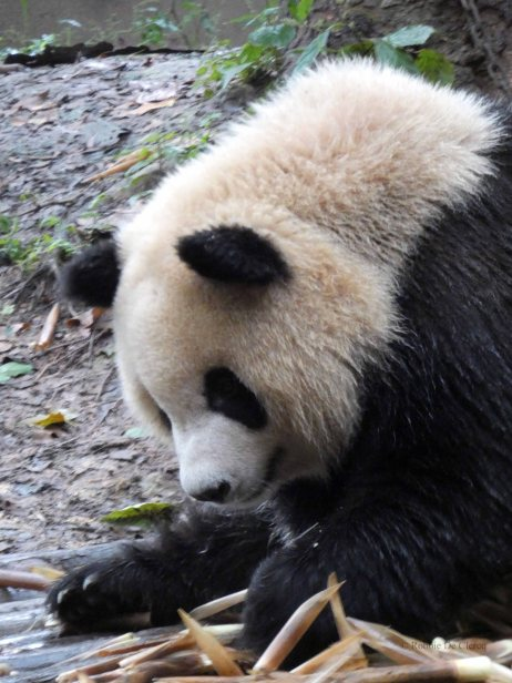 Giant Panda Research Centre (7)