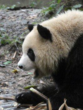 Giant Panda Research Centre (8)