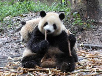 Giant Panda Research Centre (9)
