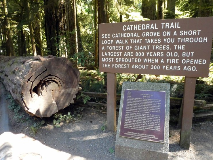 Cathedral Grove (1)