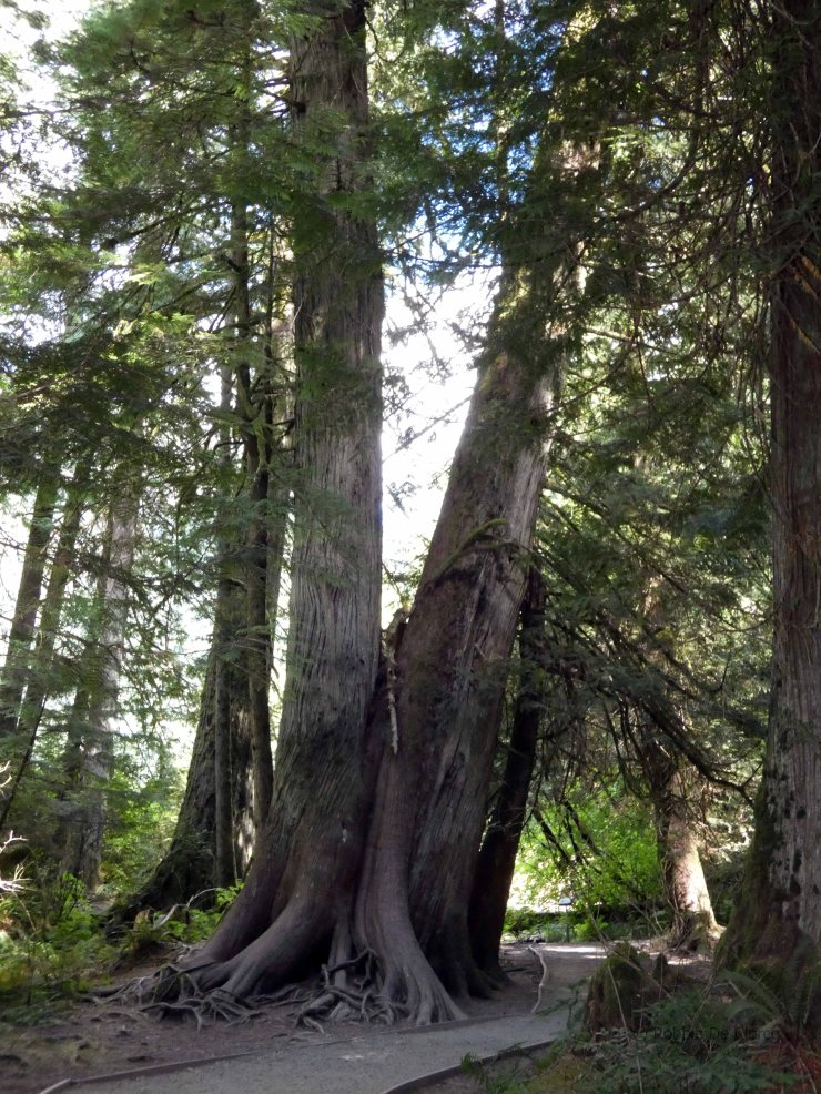 Cathedral Grove (13)
