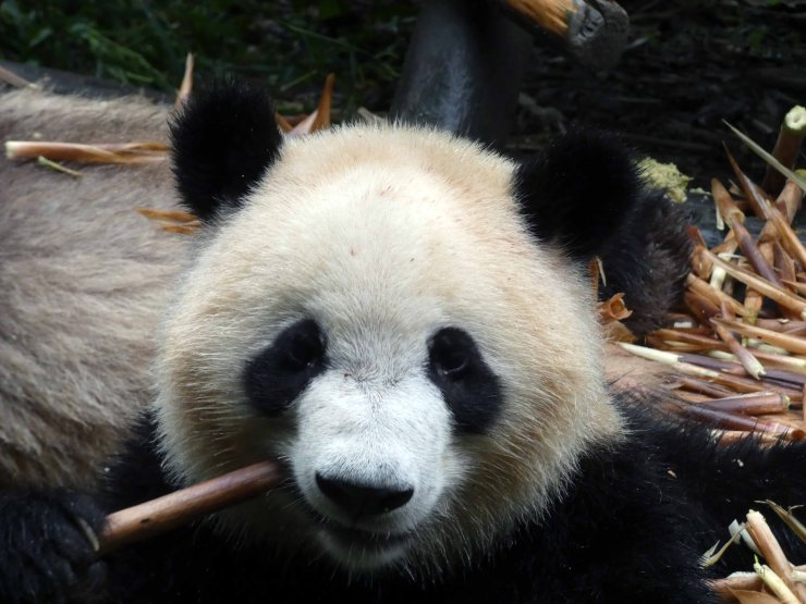 Giant Panda Research Centre (17)