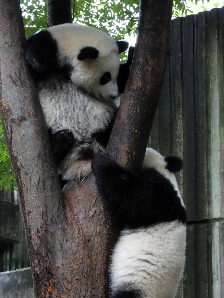 Giant Panda Research Centre (26)