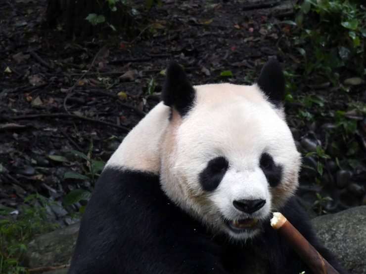 Giant Panda Research Centre (31)